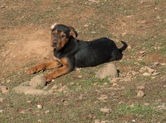 New Zealand Huntaway | New Zealand Huntaway Puppies - working dogs - stock dogs - herding ...
