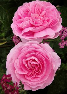 'Gertrude Jekyll' roses