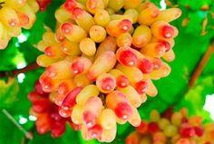 Хочу услышать отзывы о сорте винограда маникюр фингер. Так ли хорош, как пишут? Подумываю о покупке