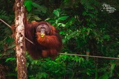 Semenggoh Orang Utan Sanctuary is around seven square kilometres in area, and the orang-utans who live here roam freely in the jungle of the reserve, coming in at feeding times only if they are hungry.