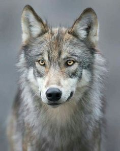 Beautiful Wolves : Wolf by Ken Conger Wolf Photos, Wolf Pictures, Animal Pictures, Wolf Spirit, Spirit Animal, Beautiful Creatures, Animals Beautiful, Tier Wolf, Canis Lupus