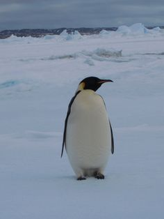 Emperor Penguins hunt for fish and other marine life in the open seas or in cracks in the ice. They can dive to depths of almost 550 metres, staying underwater for almost 20 minutes at a time. Emperor Penguin, Marine Life, Underwater, Kai, Cute Animals, Wildlife, Creatures, Birds, Funny