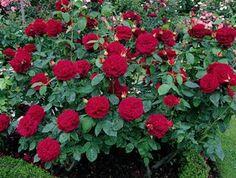 David Austin rose - L D Braithwaite Floribunda Roses, Shrub Roses, Small Garden Shrubs, Garden Plants, Love Flowers, Beautiful Flowers, Red Shrubs, Rose Delivery, Rose Nursery