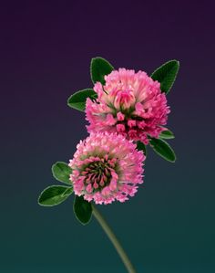 Red clover :). This reminds me of my childhood, where I used to pick some and gave them to eat to my rabbit. The flower is edible, but it doesn't taste much.