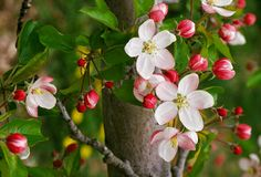 Michigan's state flower, pyrus coronaria or the apple blossom. : Michigan's state flower is the pyrus coronaria, more commonly known as the apple blossom