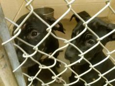 141946 TACO (white spot on chest) Male Pit 8 wk puppies 141947 TINY Female Pit  https://fundrazr.com/campaigns/dnBS5/ab/5tTwf?  These animals are at Clayton County Animal Control at 1396 Government Circle Jonesboro, GA 30236. For help with rescue coordination, please email jmpartnersccac@gmail.com,  https://www.facebook.com/photo.php?fbid=793732300645808set=a.511463058872735.129181.339511346067908type=3theater
