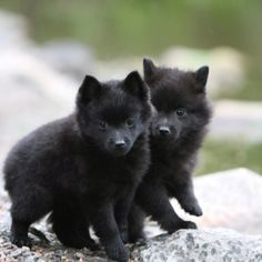 The very first Usa specialty club for the Schipperke was formed in 1905, however the official breed club, the Schipperke Club of America, was not founded till 1929.