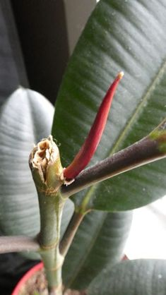 Rubber Tree Branching Tips: Why Won't My Rubber Tree Branch Out - Goldman. Rubber Plant, Rubber Tree, Tree Leaves, Tree Branches, Indoor Plants, Pot Plants, Indoor Gardening, Green Plants, Container Gardening