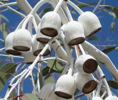 Large chalky white gumnuts of the gungurru (Eucalyptus caesia 'Silver Princess')