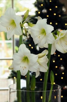 Amaryllis bulbs are wonderful. The amaryllis indoors is very easy to get in bloom. We supply big bulbs for Amaryllis. Amaryllis Bulbs are also known as Hippeastrum.