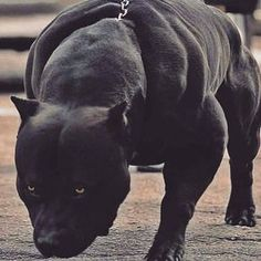 Uplifting So You Want A American Pit Bull Terrier Ideas. Fabulous So You Want A American Pit Bull Terrier Ideas. Big Dogs, Cute Dogs, Dogs And Puppies, Bebe Staff, Scary Dogs, Pit Bulls, Pit Bull Dogs, Bully Dog, Bully Breed