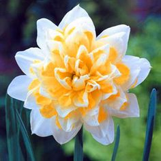 Egrow Egrow 100 pcs Aquatic Daffodil Seeds Narcissus Flower Double Petals Home Courtyard Bonsai Plant - Newchic