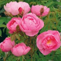 スカイラーク - Skylark (Ausimple) 香りや、育ちかたの面で違ったかたちのイングリッシュ・ローズを発表していくのは、私たちの常々の望みです、この品種は良い例でしょう。花はセミダブルで、オープンカップ、真ん中に見えるしべもポイントです。花色は初めは濃いピンクで、薄めのライラック・ピンクになってゆきます。花の中心には小さな白い部分があります。