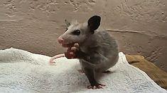 Possum Chomps gifs gif cool images animal gifs eating video clips possum gifs