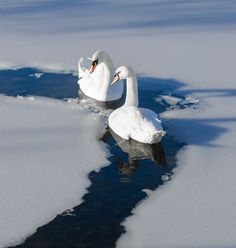 """Swan Lake On Ice"" by Rory McDonald"