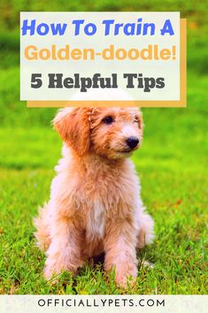 Dog grooming tips - How to Train a Goldendoodle 5 Helpful Dog Training Tips! Training a dog can be difficult But it doesn't have to be! Check out our article on golden doodle training by certified dog trainer Tiar Goldendoodle Training, Mini Goldendoodle Puppies, Yorkie, Goldendoodles, Standard Goldendoodle, Goldendoodle Grooming, Pug, Dachshund, Chihuahua