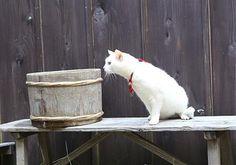 Twitter / nekozamuraiinfo: 玉之丞さま、強い雨風が来ますぞ。皆の者も、ささ、中へ。 #猫侍 #白猫 Neko