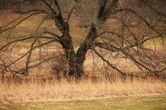 Big Oak, Morris Arboretum