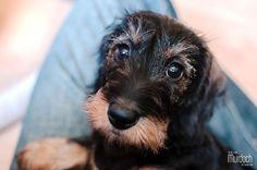 Miniature wirehaired dachshund puppy | Photography by www.colinmurdochstudio.com