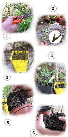 Faire des boutures de rosiers en buisson ou grimpants :