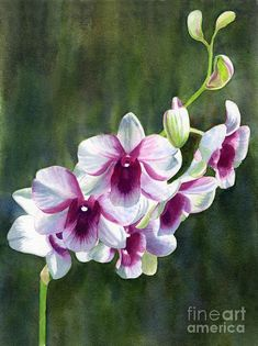 White And Red Violet Orchid Art Print by Sharon Freeman. All prints are professionally printed, packaged, and shipped within 3 - 4 business days. Choose from multiple sizes and hundreds of frame and mat options. Watercolor Flowers, Watercolor Paintings, Flower Paintings, Orchid Drawing, Orchids Painting, Orchid Tattoo, Orchid Centerpieces, Purple Orchids, White Orchids