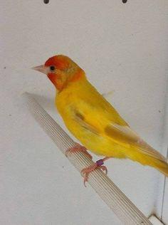 chardonneret de couleur jaune