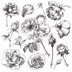 flower illustrations-makes me want to draw these and get some nice pencils