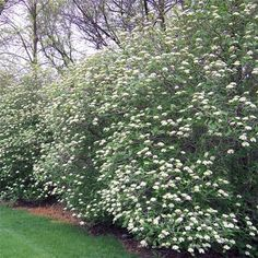 Viburnum lantana 'Mohican' Mohican Viburnum from Midwest Groundcovers Part Shade Flowers, Types Of Flowers, Fence Trees, Trees And Shrubs, Shade Garden, Garden Plants, Colorful Flowers, White Flowers, Natural Fence
