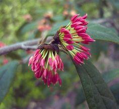 Sycopsis sinensis 12 flower