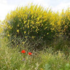 Spiraea japonica anthony waterer spir e jeune plante en godet vente en ligne plantes et - Vente plante en ligne ...