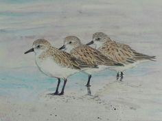 Tiny Red-necked Stints. Migratory waders. Non-breeding plumage. Tasmania. Watercolour. Melhillswildart.