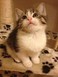8 weeks old little female tabby and white kitten