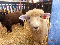 Puyallup Washington, Western Washington, Romney Sheep, Mother Earth News Fair, Dyi, Goats, The Help, Animals, Animales