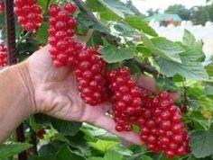 Садовод-любитель Михаил Руденко из Москвы изобрел способ, позволяющий  в 10 раз увеличить урожайность малины и вдвое – смородины. По его  словам, метод в…