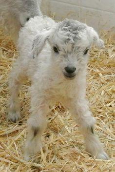 Pygora Kid Goat