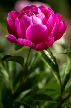 Incredible list of the many different types of peonies flowers. Includes all colors, bloom types and many varieties. This is a terrific checklist peonies guide. Exotic Flowers, Amazing Flowers, Pretty Flowers, Pink Flowers, Beautiful Flowers Photos, Flor Magnolia, Bloom, Language Of Flowers, Peony Flower