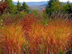 Les Miscanthus sinensis : les variétés et spécificités