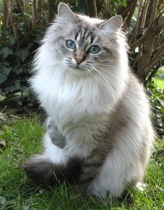 Norwegian forest cat and a Maine Coon I Love Cats, Crazy Cats, Cute Cats, Funny Cats, Gatos Maine Coon, Maine Coon Cats, Siberian Forest Cat, Siberian Cat, Pretty Cats
