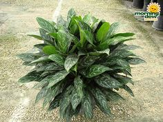 AGLONEMA Señora verde (14 pulg.)