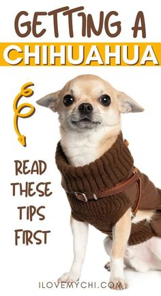 Read this tips first before getting your first chihuahua. Chihuahua Drawing, Chihuahua Tattoo, Chihuahua Facts, Chihuahua Terrier Mix, Chihuahua Puppies, Baby Puppies, Dogs And Puppies, Chihuahuas, Doggies
