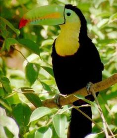 this is a Keel Billed Toucan. it is considered to be a dominant wildlife in the tropical rainforest. you will find these birds hanging around in the canopy part of the rain forest. All Birds, Cute Birds, Pretty Birds, Tropical Birds, Exotic Birds, Colorful Birds, Tropical Animals, Tropical Paradise, Toucan