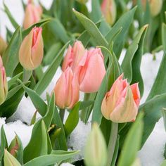 What you can do to save spring flowers from freezing temperatures, snow, and sleet.