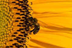 Sonnenblume, Blüte, Sommer, Gelb, Biene, Nahaufnahme