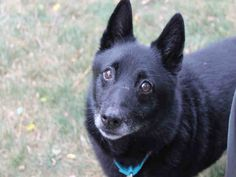 Meet DUKE, a Petfinder adoptable Schipperke Dog | Brewster, MA | Petfinder.com is the world's largest database of adoptable pets and pet care information....