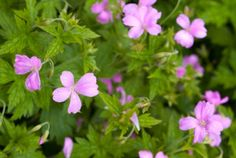 (Geranium sanguineum 'Alpenglow') This 12- to 18-inch-tall geranium produces magenta flowers and velvety foliage that turns crimson in fall. Zones 4-8; partial shade; blooms late spring/early summer