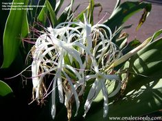PlantFiles Pictures: Poison Bulb, Giant Crinum Lily, Grand Crinum Lily, Spider Lily (Crinum asiaticum) by onalee Tropical Landscaping, Landscaping Plants, Lilly Plants, Bulbs And Seeds, Florida Plants, Sandy Soil, Ornamental Grasses, Trees To Plant, Houseplants