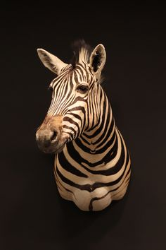 Opgezette zebra Nature, Animals, Naturaleza, Animales, Animaux, Animal, Animais, Nature Illustration, Off Grid