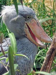Shoebill Bird - (Balaeniceps rex)