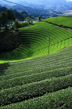 茶畑 円形 和束町 原山 京都