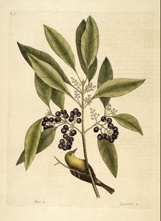 Osmanthus americanus (L.) Benth. & Hook.f. ex A.Gray Devilwood Catesby Volume I plate 61